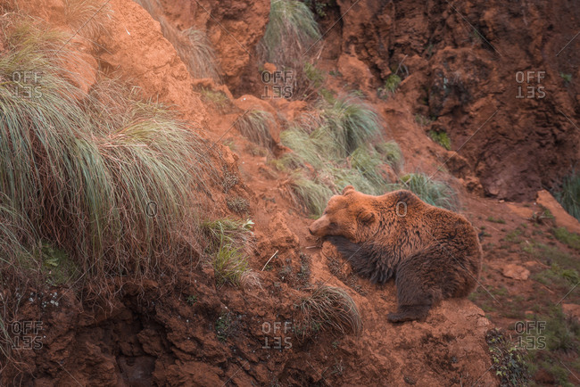 Brown bear walking in rocky terrain