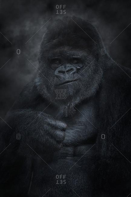Silver back mountain gorilla looking at camera