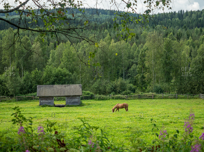 Horse grazing near old wooden barn on forest border in countryside in summer day