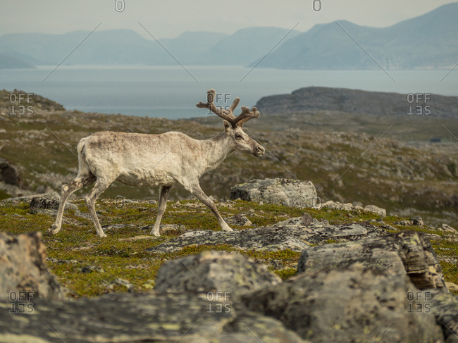Young male beige fur reindeer with antlers walking in rocky terrain in Finland