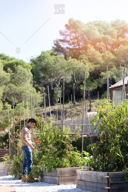 Side view of adult male in casual outfit picking tomatoes from plants outside greenhouse on sunny day on farm