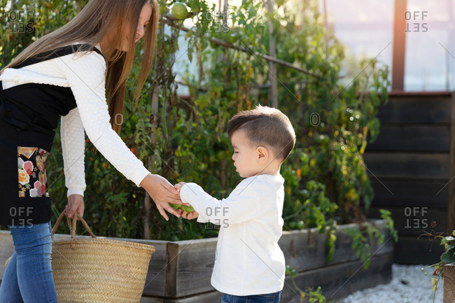 Little girl and baby boy putting ripe tomatoes into basket while working on farm on sunny day together
