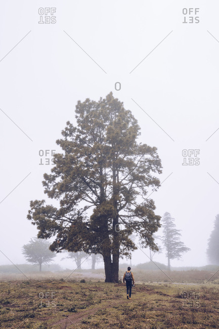 Back view of traveler with backpack walking on footpath with big tree in thick fog
