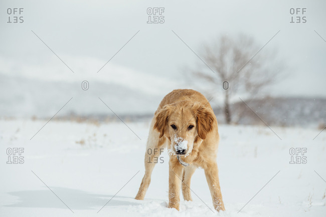 Golden retriever puppy with snow on her nose in field