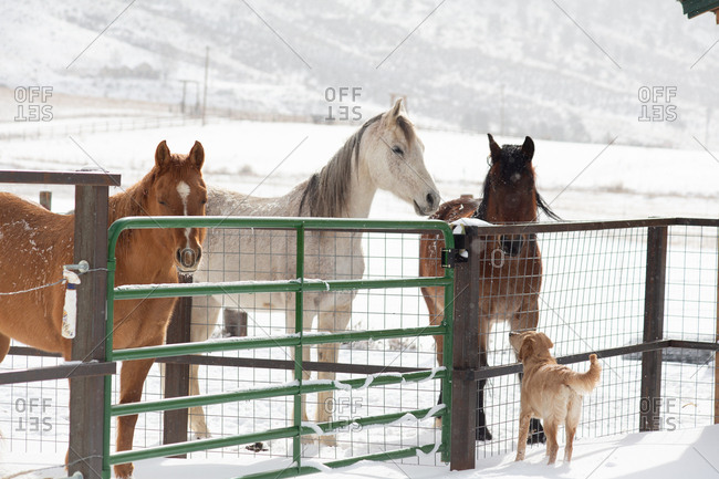 Puppy looking up at horses in snowy paddock