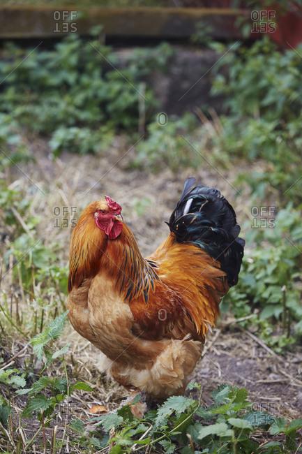 Rooster in garden