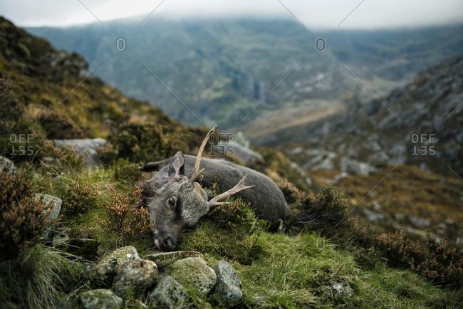 Dead deer on mountain