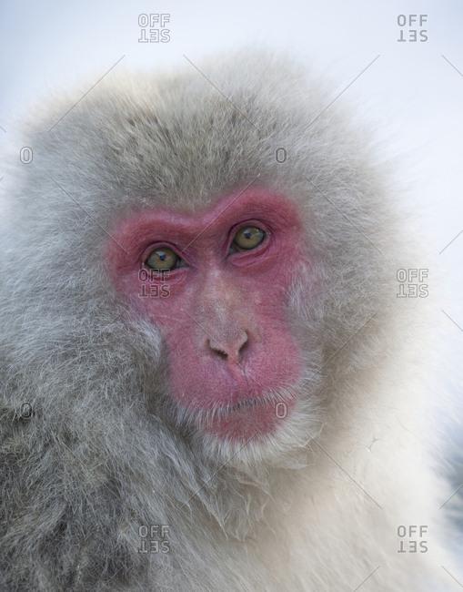 Japanese Macaque, portrait