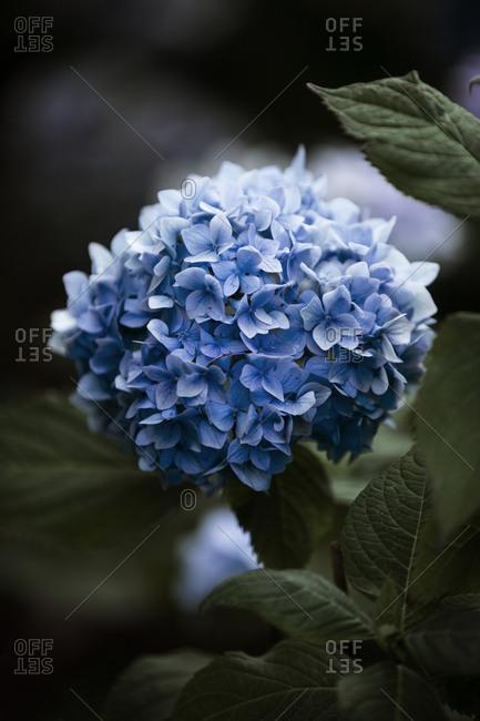 Blue Hydrangea flower - Offset Collection