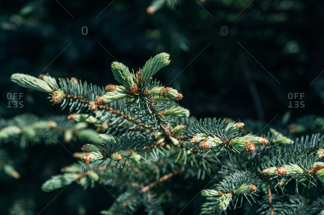 Young prickly branches of pine tree in Spring