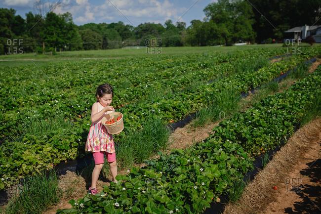 Girl picking strawberries