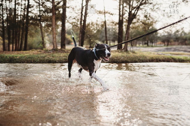Dog walking through river
