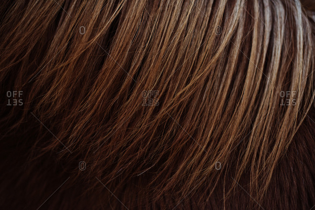 Close Up Of Iceland Pony's Chestnut Ginger Mane