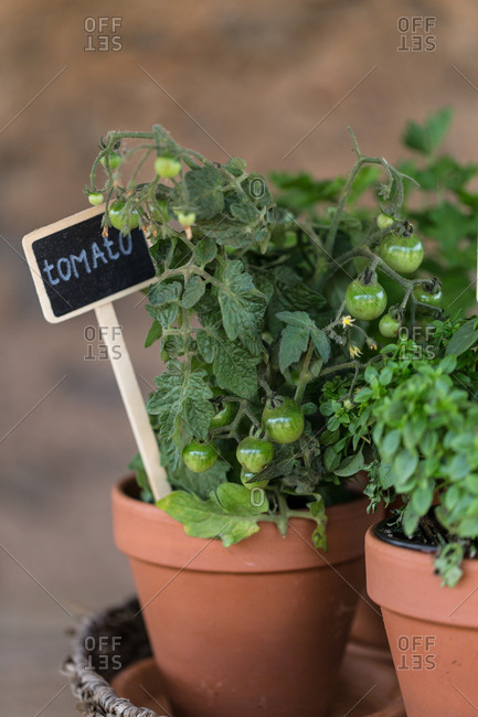 Young tomatoes growing in a planter