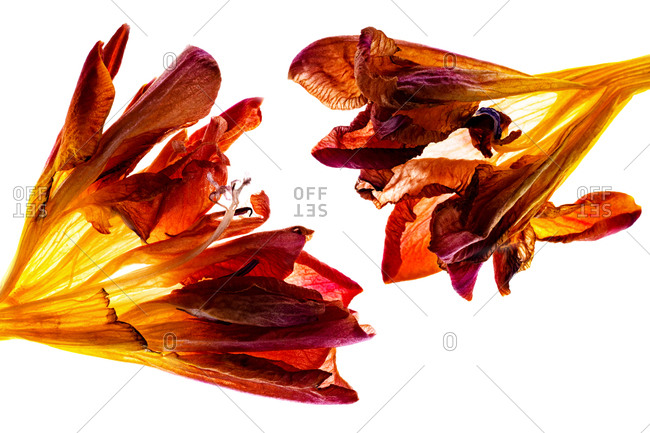Macro image of red freesia flowerbuds backlit on white background