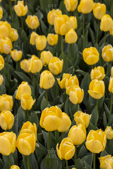 Yellow tulip flower bunch