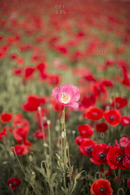 red and pink poppy flowers blooming in spring