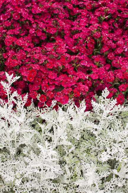 the harmony of red and white flowers