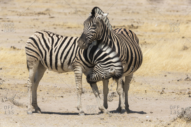 Namibia. A young zebra nudges it's pregnant mother in an act of affection. Etosha National Park.