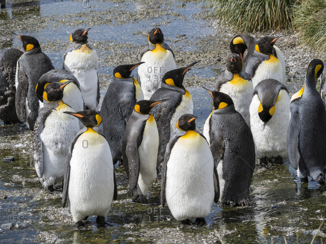 King Penguin (Aptenodytes patagonicus) on the island of South Georgia, rookery in Gold Harbor. Adults molting.