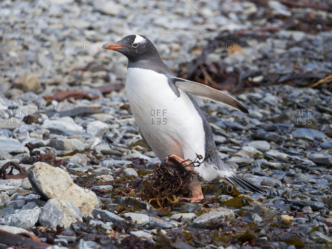 Gentoo Penguin (Pygoscelis Papua) on pebble beach in Godthul on South Georgia.