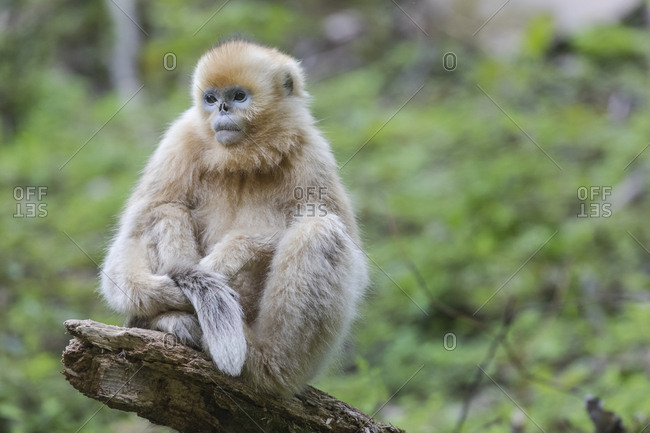 Asia, Shaanxi, Foping National Nature Reserve, golden snub-nosed monkey (Rhinopithecus roxellana), endangered. Juvenile monkey that is between 1 and 3 years old is sitting on a log.