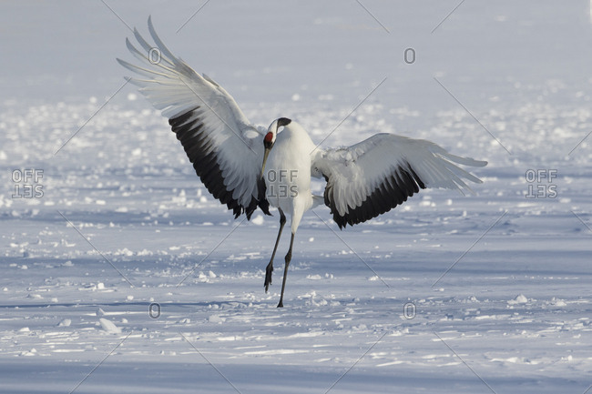 Rare red-crowned crane of Northern Island of Hokkaido, Japan