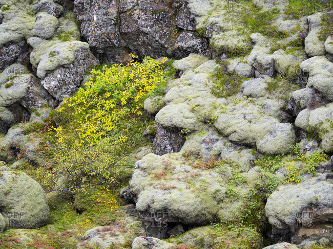 Moss during fall on a lava flow in Thingvellir.