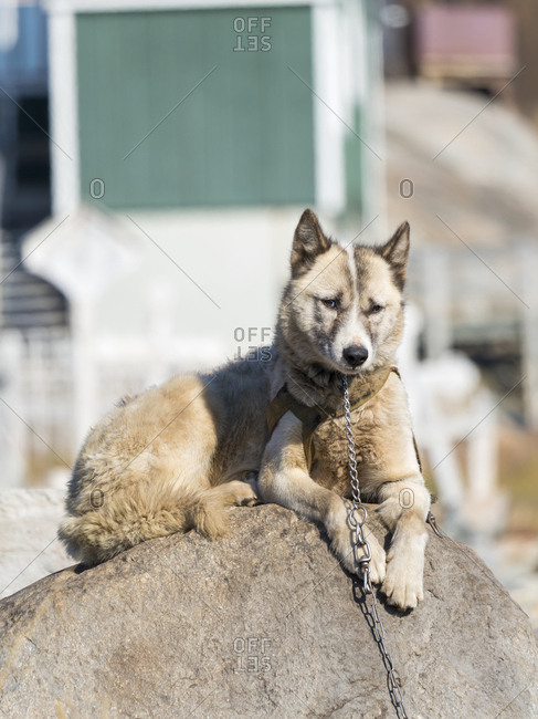 Sled dogs in the small town Uummannaq, northwest Greenland. During winter the dogs are still used as dog teams to pull sledges of fishermen.