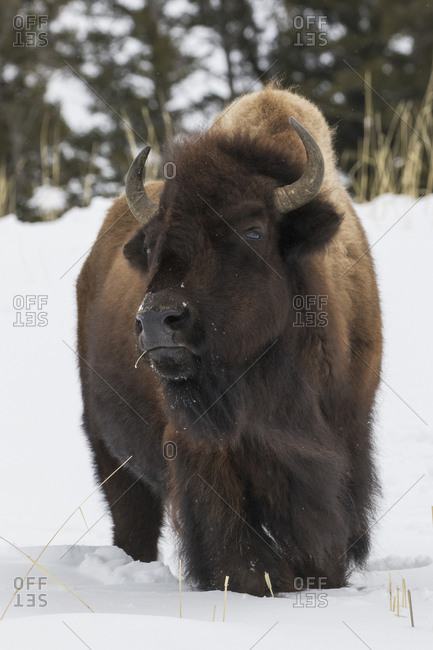 Bison bull, intently watching another bull approaching