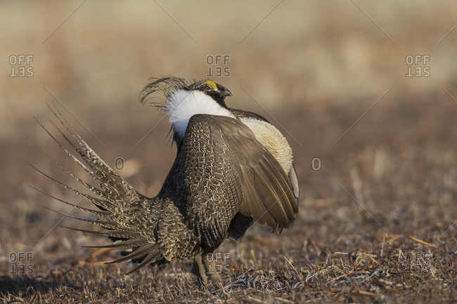 Greater sage-grouse, courtship display