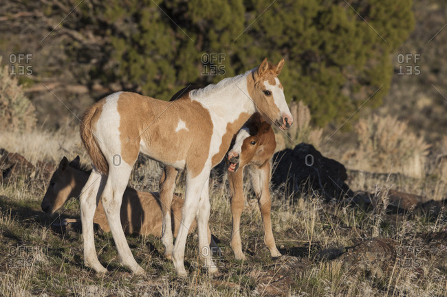 Young playful wild horses
