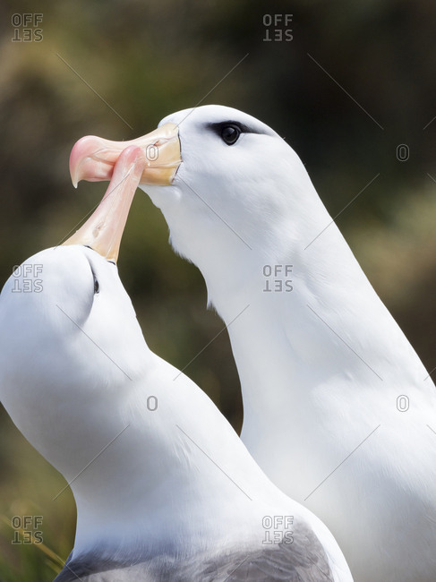 Black-browed albatross or black-browed mollymawk (Thalassarche melanophris), typical courtship and greeting behavior.