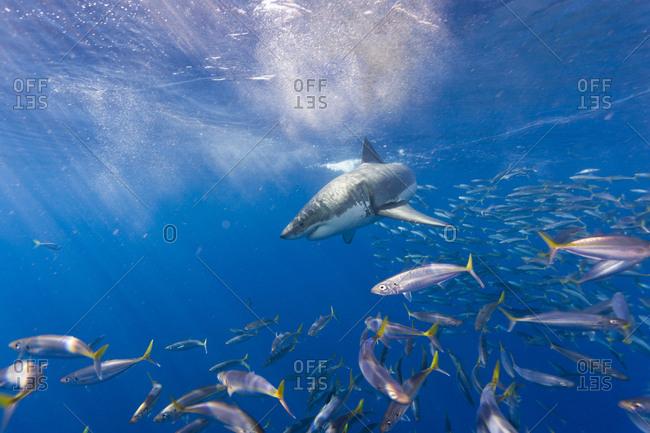 Great White Shark (Carcharodon Carcharias), Large 5 meter female, and schooling Rainbow Runners (Elagatis binpinnulata) Guadalupe Island, Marine Biosphere, Baja California, Mexico