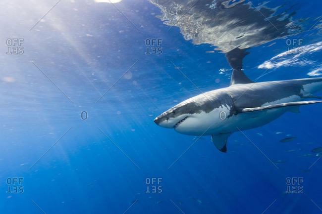 Great White Shark (Carcharodon Carcharias), Large 5 meter female, Guadalupe Island, Marine Preserve, Baja California, Mexico