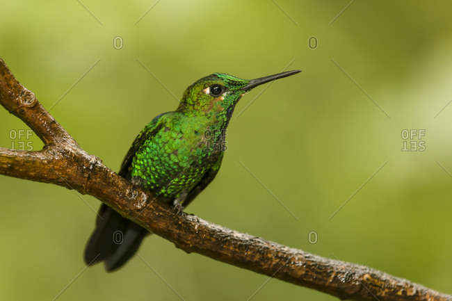 Monteverde National Park, Costa Rica. Green-crowned brilliant hummingbird (Heliodoxa jacula) resting on a branch.