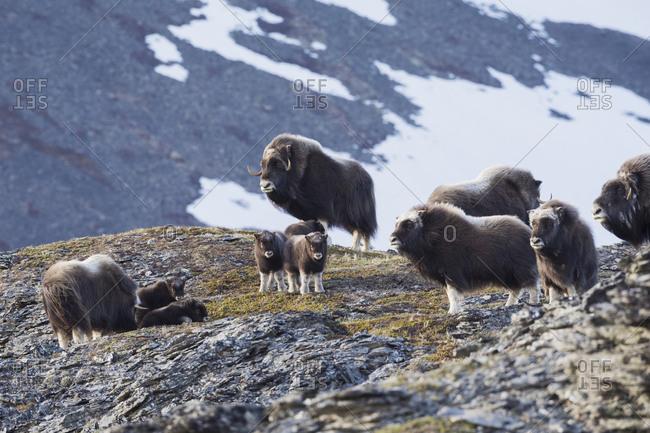 Muskox herd, arctic tundra