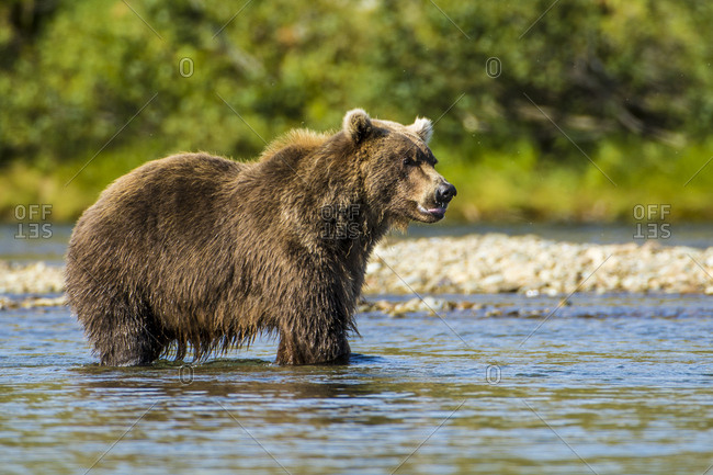 Grizzly or brown bear (Ursus arctos), Moraine Creek (River), Katmai National Park and Reserve, Alaska, USA.