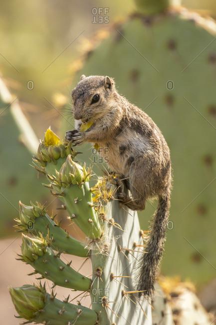 USA, Arizona, Desert Botanic Garden. Harris's ground squirrel feeding on prickly pear cactus blossom.