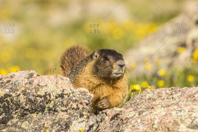 USA, Colorado, Mt. Evans. Yellow-bellied marmot close-up.