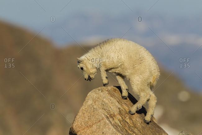 USA, Colorado, Mt. Evans. Mountain goat kid on rock.