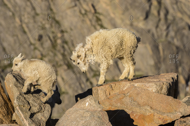 USA, Colorado, Mt. Evans. Mountain goat kids on rocks.