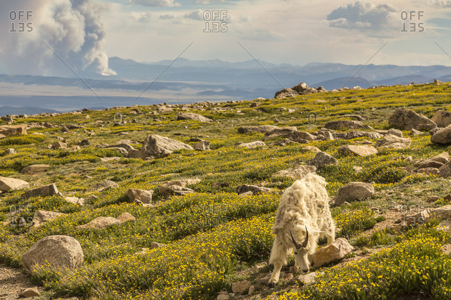 USA, Colorado, Mt. Evans. Mountain goat grazing among alpine avens with wildfire in background