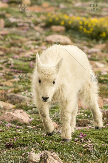 USA, Colorado, Mt. Evans. Mountain goat kid.