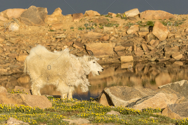 USA, Colorado, Mt. Evans. Mountain goat and alpine tarn.