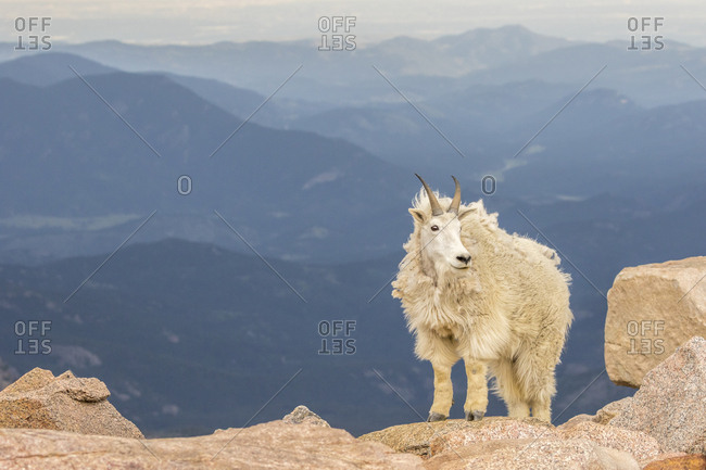 USA, Colorado, Mt. Evans. Mountain goat mountain landscape.