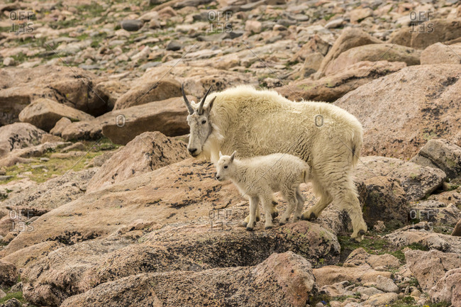 USA, Colorado, Mt. Evans. Mountain goat nanny and kid.