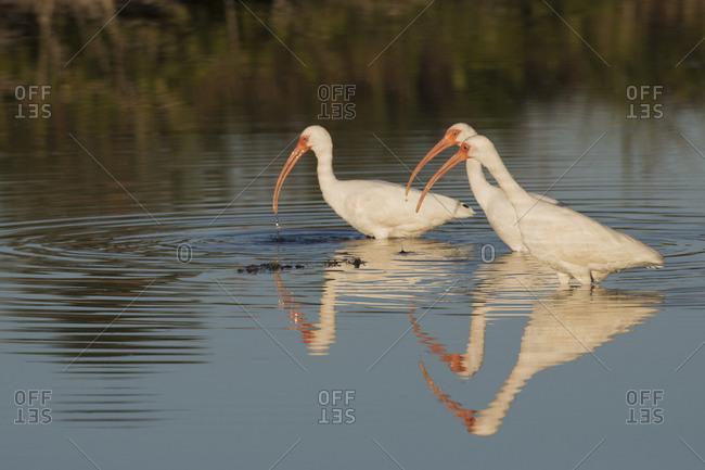 White ibises foraging