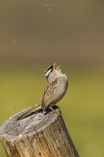 USA, Colorado, Mt. Evans. White-crowned sparrow singing.
