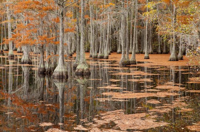 USA, George Smith State Park, Georgia. Fall cypress trees.